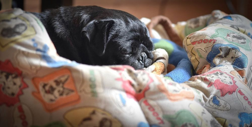 Black Pug Sleeping On Pet Bed At Home