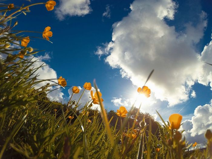 Low angle view of flowers blooming on field against clear sky