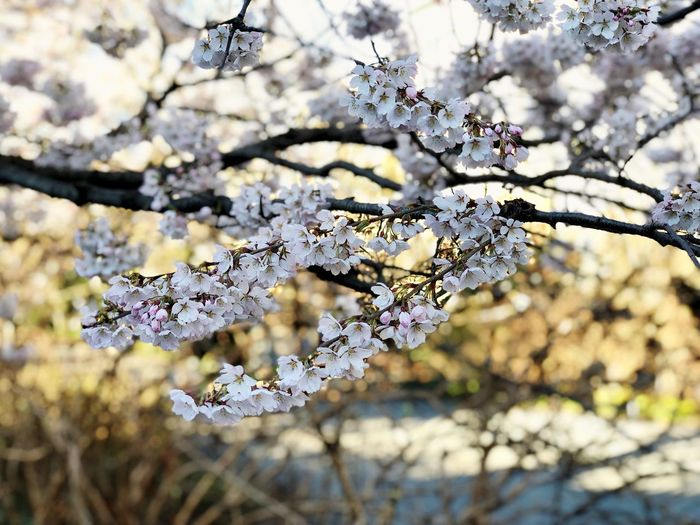 Spring time 🌸🌸 Spring Flowers Flowers Eye4photography  EyeEm Best Shots Plant Flowering Plant Flower Blossom Branch Fragility Springtime Freshness Growth Beauty In Nature Vulnerability  Focus On Foreground Nature Tree No People Cherry Blossom Close-up White Color
