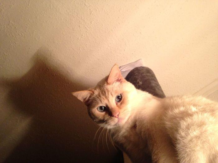 Our beautifull white cat