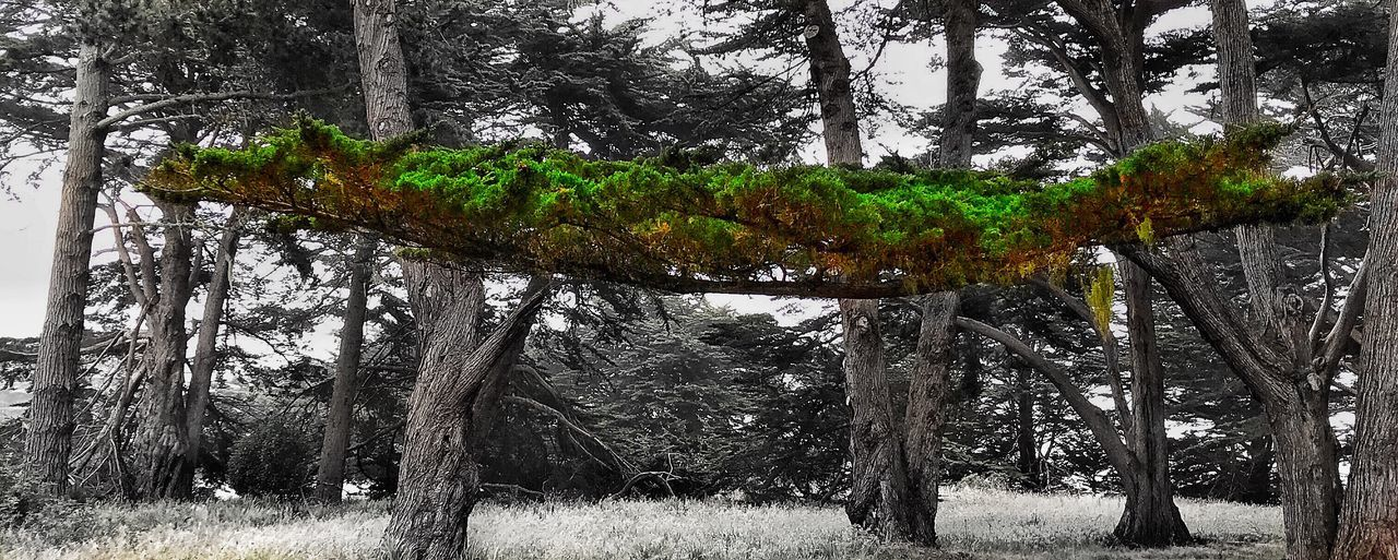 Tree Tree Trunk Nature Beauty In Nature Growth Green Color Forest Outdoors Branch Tranquil Scene Scenics Day Pine Tree No People Tranquility Pinaceae Grass Tree Area Sky Low Angle View Wood - Material Pt. Reyes National Seashore Marin County CA Inverness, Calif Green Color