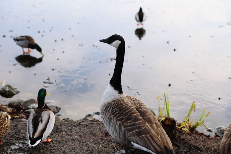 Ducks and canada goose in a frozen lake