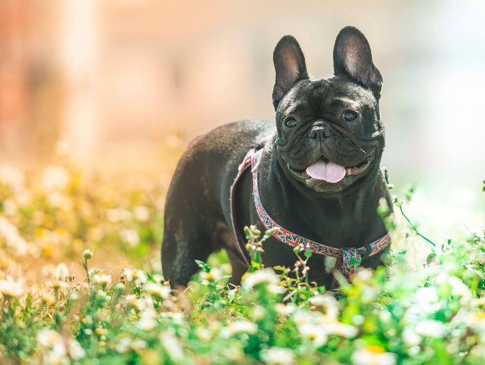 Pepe 🖤 Nightphotography Nikonistas Nikon Bulldog Francés Frenchielove Frenchbulldog Frenchie Bulldog One Animal Pets Mammal Animal Animal Themes Vertebrate Domestic Nature Canine Dog Domestic Animals First Eyeem Photo
