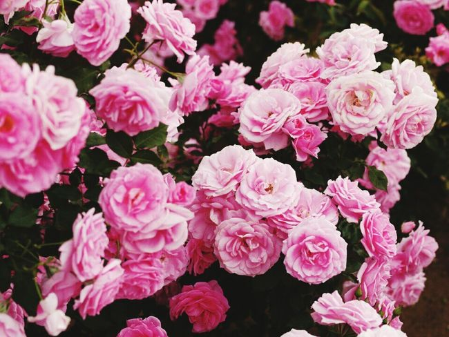 Nature Photography Roses, Flowers, Nature, Garden, Bouquet, Love, 🌹🌞beauty 🌹ROSE🌹