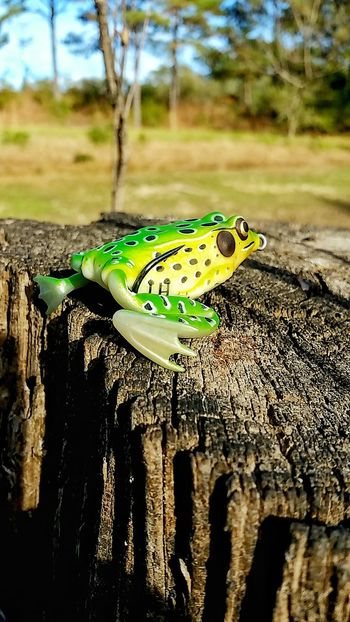 Frog Fishing Lure Fake Not Real Fishing Equipment Nature One Animal Green Color Close-up Animal Wildlife Animal Themes Animals In The Wild Focus On Foreground Water Stump