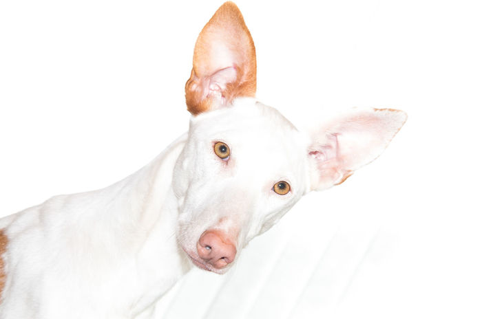Beautiful Close-up Do Dog Domestic Animals Facial Expression Ibizan Hound Looking At Camera Mammal One Animal Pampered Pets Person Pet Pets Portrait SPAIN Spanish Studio Shot White Background