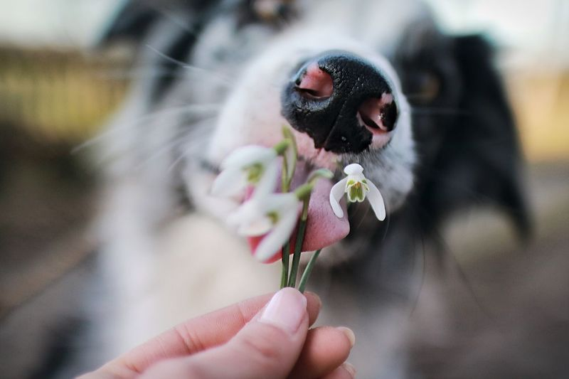 Close-up of dog licking flower being held by hand