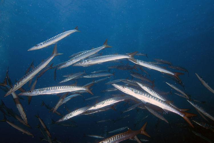 Yellowmouth barracuda - sphyraena viridensis - in the mediterranean sea