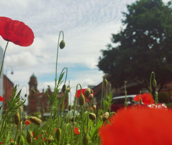 Newtown Powys Today ... Poppy Poppies  Flower Flowers Red Poppy Town Clock Tower Wales Flores Fleurs мак маки город фонари башня цветы Red Rojo Coch Streetlights