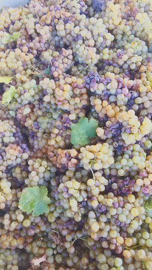 Noblelateharvest Grapes Winemaking