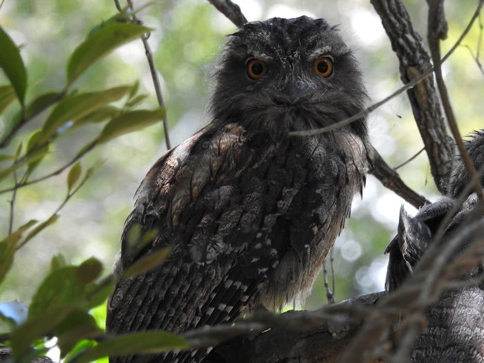 Animal Wildlife Animal Eye Looking At Camera Tree Bird Portrait One Animal Close-up Animals In The Wild Nature No People Perching Branch Owl Bird Of Prey Outdoors Day
