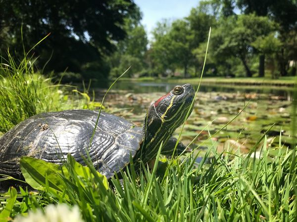 Grass Tortoise Animals In The Wild Animal Themes Reptile Day Green Color Nature Animal Wildlife Focus On Foreground Outdoors Tortoise Shell Turtle TheMinimals (less Edit Juxt Photography)