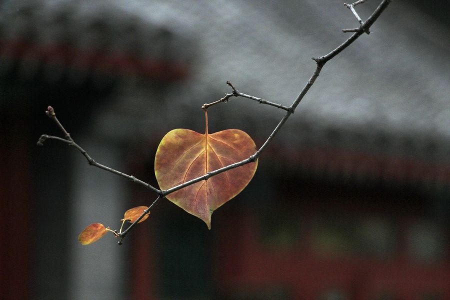 Autumn Leaves BEIJING北京CHINA中国BEAUTY Beauty Of China Storytelling A Moment In Time Atmospheric Mood Autumn Beauty In Nature Beauty In Nature Change Close-up Cold Temperature Dry Fragility Getting Inspired Leaf Leaves Maple Nature No People Plant Style Of China