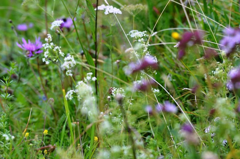 Beauty In Nature Close-up Day Field Flower Flower Head Flowering Plant Fragility Freshness Grass Green Color Growth Land Nature No People Outdoors Petal Plant Purple Selective Focus Vulnerability