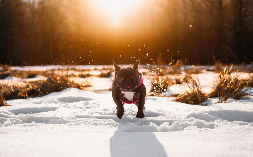 French bulldog dog running  on snow covered land during sunset