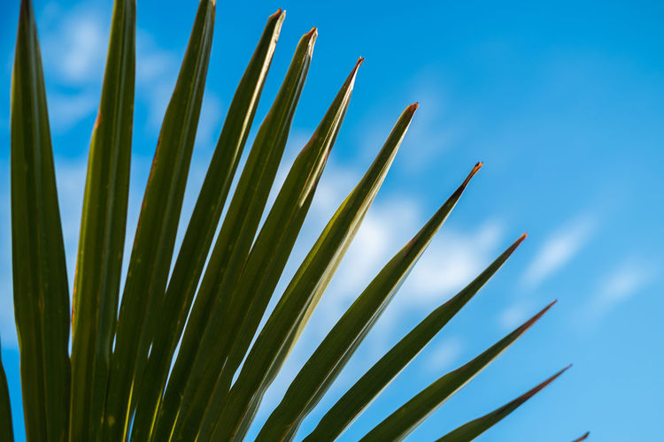 Palm leaf on a sunny day Summer Summertime Growth Sky Beauty In Nature Plant Nature Day Low Angle View Green Color No People Tranquility Close-up Clear Sky Leaf Sunlight Plant Part Outdoors Focus On Foreground Blue Freshness Palm Leaf Blade Of Grass Grass