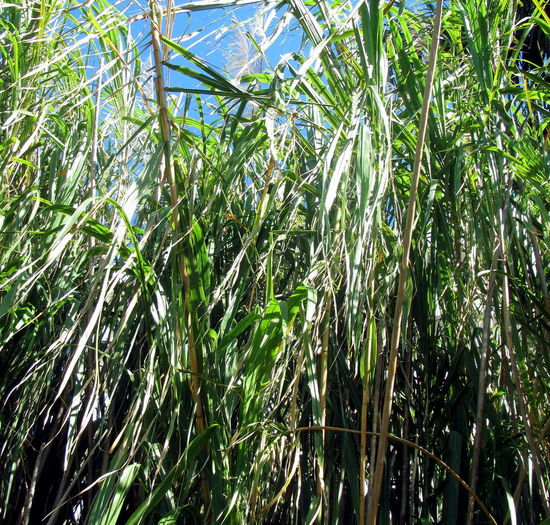 Low angle view of bamboo trees on field