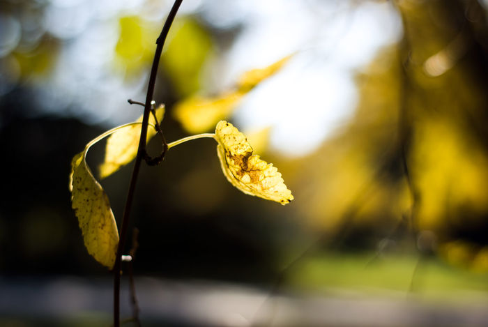 Yellow mulberry leaves glow in the afternoon, fall sunlight. Autumn Copy Space Light Mulberry Tree Natural Nature November October September Sunlight Tree Botanical Detail Fall Foliage Leaf Leaves Mulberry No People Season  Seasonal Seasons Sunshine Warm Yellow