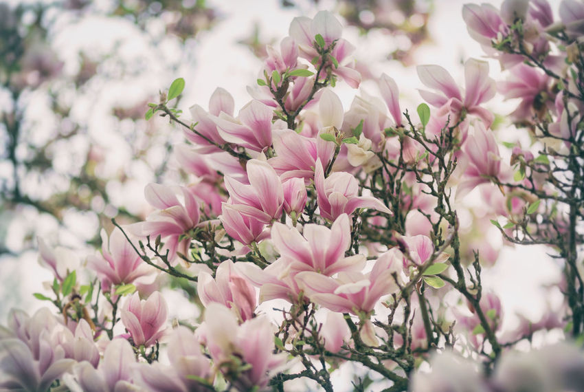 Magnoliaceae Magnolia Magnolia Blossoms Magnolia Flower Magnolia Tree Magnolia_Blossom Magnolie Beauty In Nature Flower Flower Head Growth Magnolia Blossom Magnolien Nature No People Outdoors Pink Color