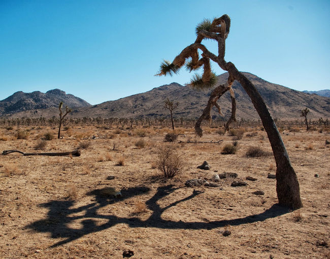 View of tree in desert against clear blue sky