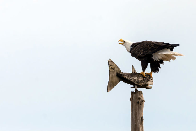 Bald Eagle Perched on Wooden Fish Post Animal Themes Animals In The Wild Bald Eagle Beauty In Nature Bird Bird Of Prey Bird Photography Bird Watching Birds Of EyeEm  Birds_collection Birdwatching Brown Day Fish Freedom Looking Majestic No People Outdoors Perching Symbol White Wildlife & Nature Wildlife Photos Wooden Carving