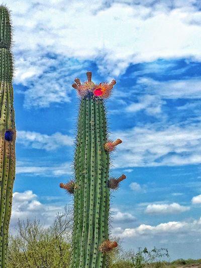 Pitahaya Chuylui Photography Countryside Life Cactuslover Cactus Flower Cactus Cactus Garden