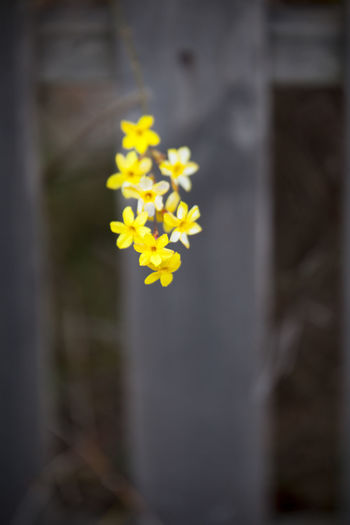 Flower Flowering Plant Yellow Freshness Plant Vulnerability  Beauty In Nature Fragility Selective Focus Growth Close-up No People Inflorescence Nature Day Petal Flower Head Outdoors Focus On Foreground Daffodil