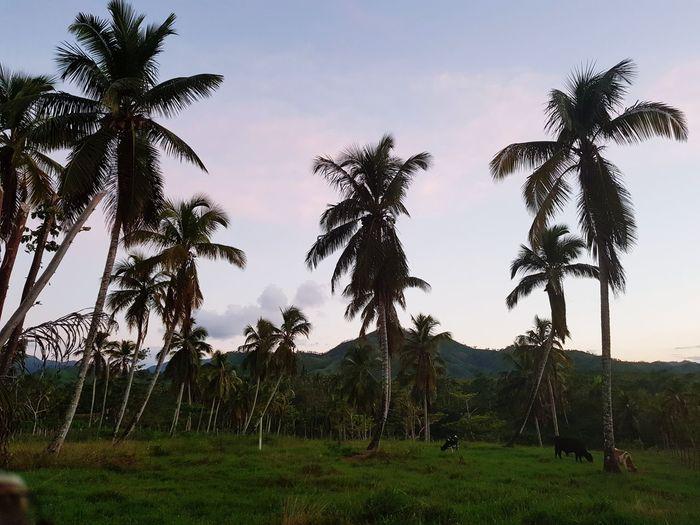 Tree Palm Tree Sky Grass Cloud - Sky