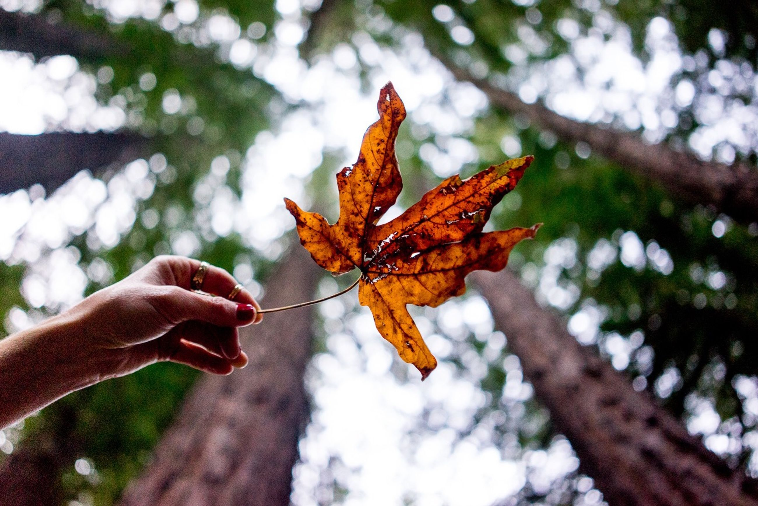 autumn, change, leaf, focus on foreground, season, close-up, maple leaf, dry, leaf vein, nature, orange color, branch, leaves, tree, natural pattern, fragility, day, part of, outdoors, person