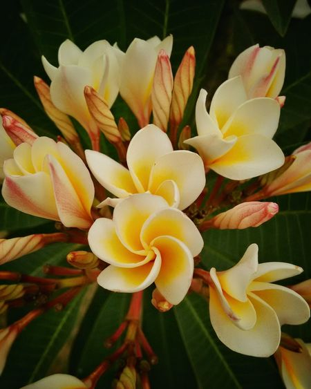 Without Filters Fragility Flower Petal Freshness Flower Head Growth Close-up Beauty In Nature Yellow Springtime Nature Blossom Bud In Bloom Plant Frangipani Selective Focus Botany Macro Vibrant Color