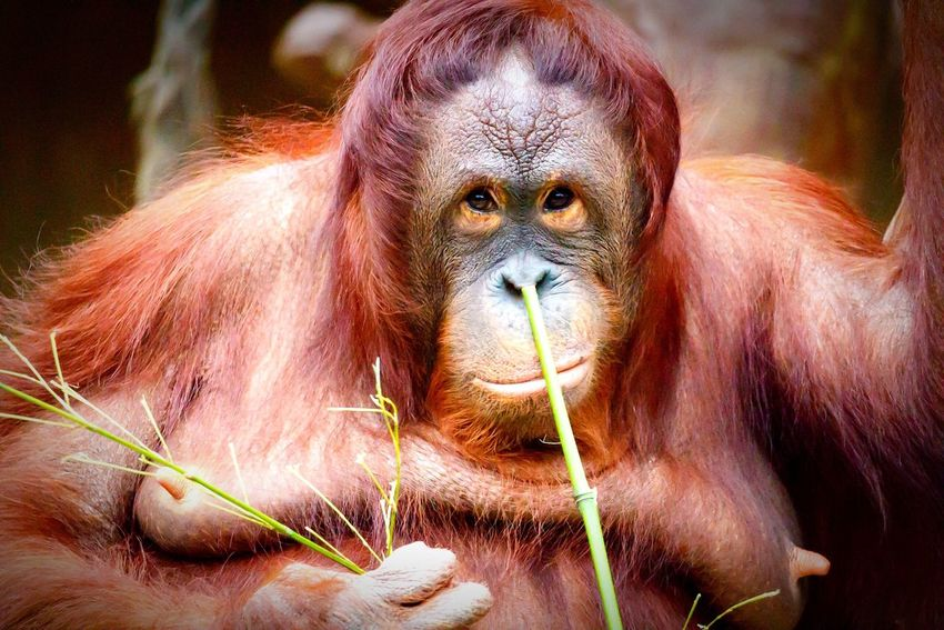 Ape Nature Nature_collection Nature Photography Naturelovers Nature_perfection Orangutan Animal Animals Zoo Zoo Animals  Picoftheday