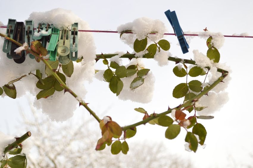 Wintertime Winter Rose Tree Outdoors Day No People Nature Sky Hanging Leaf Beauty In Nature Close-up