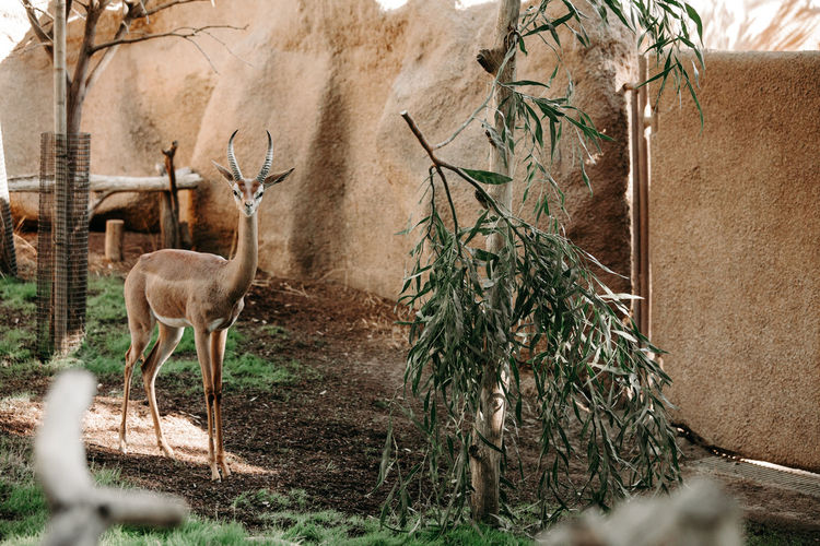 Antelope kudu close up