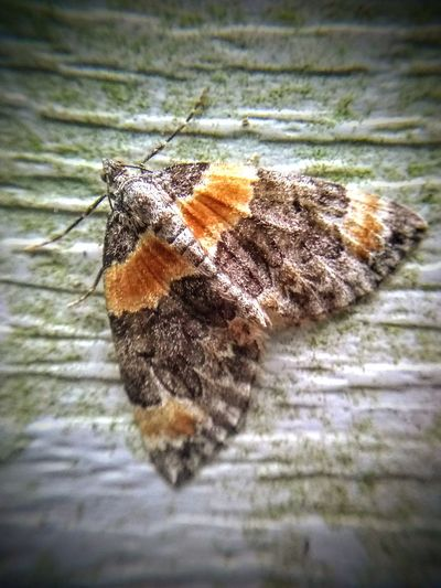 Common marbled