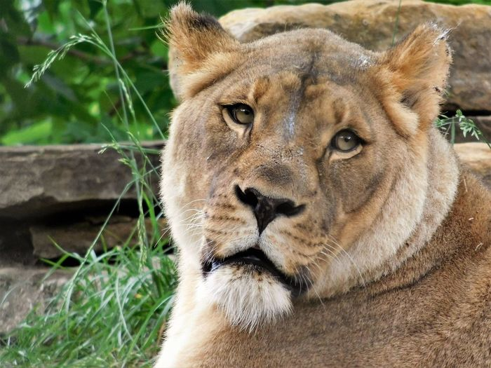 Beauty In Nature Big Cat Face Of A Queen Lioness Looking At You Single Animal Wildlife & Nature Zoo Life