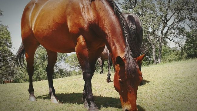 Horse Domestic Animals Agriculture Nature Tree No People Grass Outdoors Animal Gypsy OneLove Nature Beauty In Nature Travel Photography Travelamerica Traveling Let's Go. Together. Muchlove Nature Photography Travellerslife Day Awakened Flowers, Nature And Beauty Lifestyles Mountain
