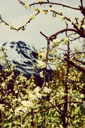 Spring in the mountains Lofthus Ullensvang Flowers Tree Branch Mountain Leaf Sky Close-up Plant Snow Covered Apple Blossom Apple Tree Fruit Tree Blossom Cherry Tree Cherry Blossom In Bloom Snowcapped
