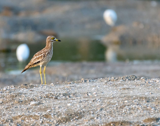 Stone Curlew Animal Animal Themes Animal Wildlife Animals In The Wild Bird Day Focus On Foreground Full Length Land Nature No People One Animal Outdoors Perching Seagull Selective Focus Solid Sunlight Vertebrate Zoology