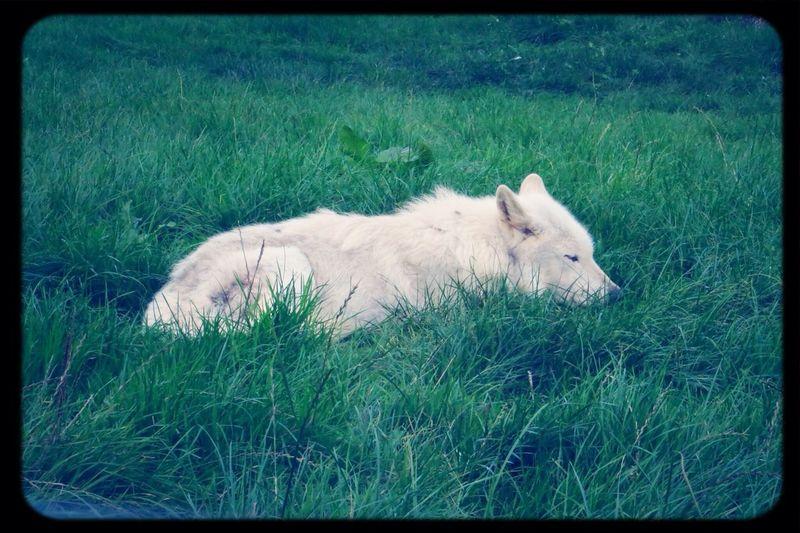 wolfy x