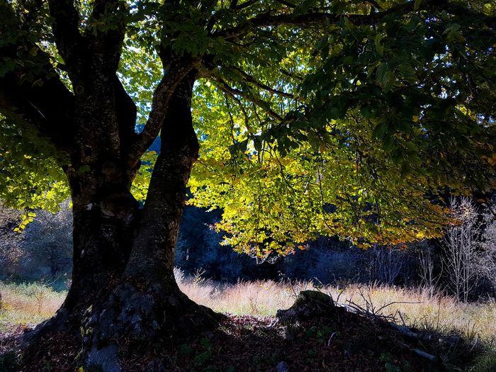 Old Trees Fagus Sylvatica Backlight Autumn Autumn Colors Autumn Leaves Yellow Orange