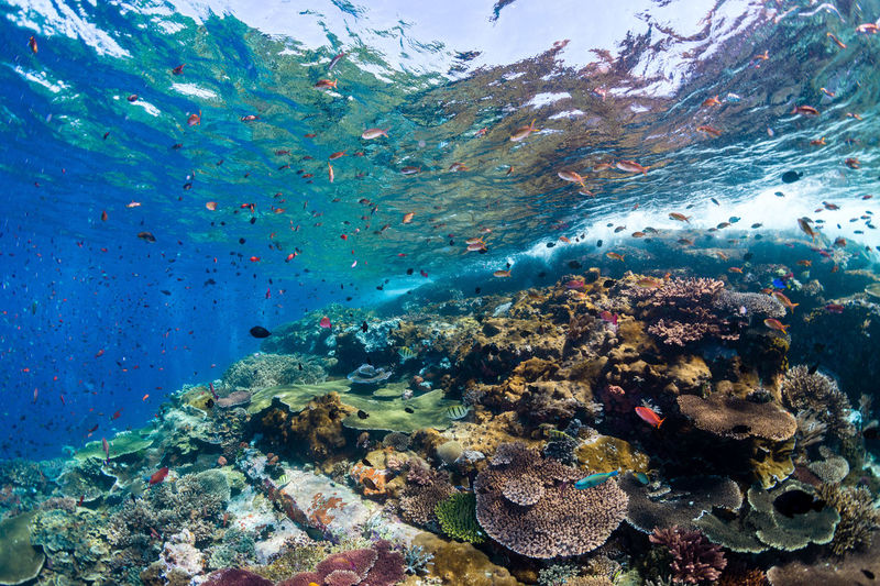 indonesia Underwater Sea Water UnderSea Sea Life Animals In The Wild Animal Wildlife Animal Fish Animal Themes Marine Vertebrate Coral Swimming Invertebrate Large Group Of Animals Group Of Animals School Of Fish Reef No People Ecosystem  Underwater Diving Pollution