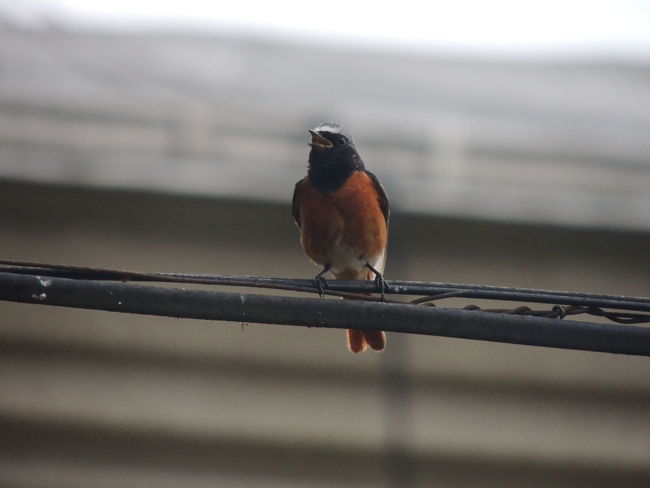 Common redstart - male Animal Animal Themes Animal Wildlife Animals In The Wild Bird Close-up Day Fence Focus On Foreground Full Length Metal Nature No People One Animal Outdoors Perching Railing Robin Selective Focus Small Vertebrate