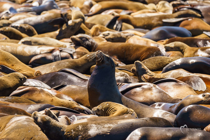 A sea of sea lions Abundance Beauty In Nature Day Full Frame Mammal Marine Marine Life Marine Mammals Nature No People Noisy Outdoors Sea Sea Lion Selective Focus Sun Bathing Tranquility Wildlife Wildlife & Nature Wildlife Photography Market Reviewers' Top Picks