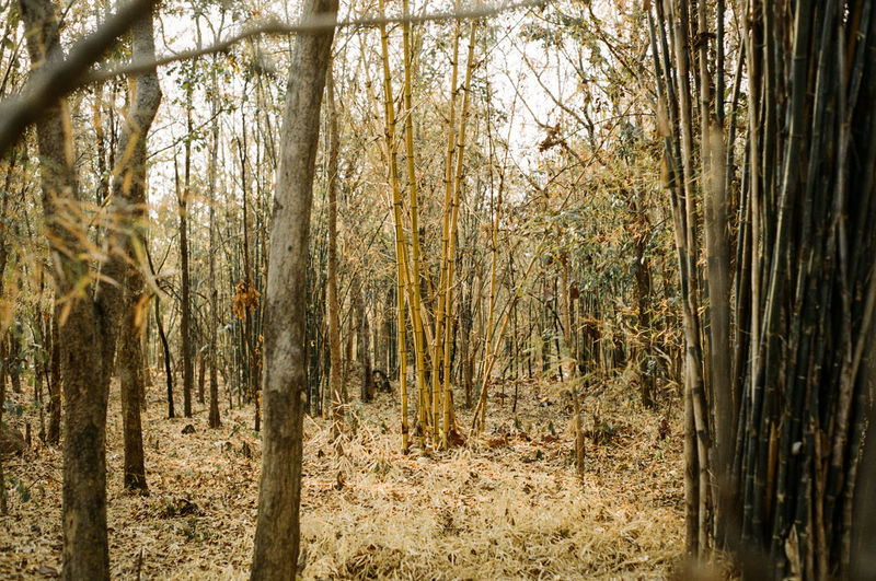 Nature Gold Bamboo. Tree Forest Land Plant Tranquility WoodLand Nature No People Day Trunk Tree Trunk Beauty In Nature Growth Outdoors Non-urban Scene Landscape Tranquil Scene Environment Sunlight Scenics - Nature Bamboo - Plant Bamboo Gold Bamboo Textured  Nature Natural