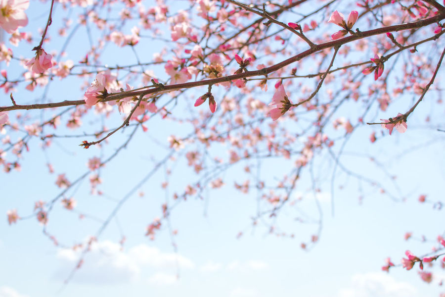 Springtime Tree Pink Color Branch Beauty In Nature Plant Nature Blossom Cherry Blossom Freshness Growth Sky Fragility Flower Flowering Plant Low Angle View Outdoors No People Blue Food