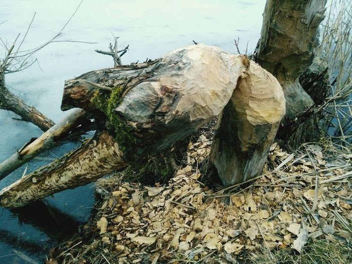 Outdoors Nature Beaver Work Beaver Trees Destroyed EyeEmNewHere
