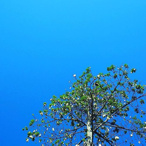 tree and the blue sky Learn & Shoot: Layering Blue Sky Trees First Eyeem Photo Fresh ASIA Asian Eyes Blue Sky Plant Beauty In Nature Clear Sky Nature Tree No People Low Angle View Copy Space Growth Freshness Flowering Plant Day Flower Springtime Outdoors Sunlight Sunny Branch