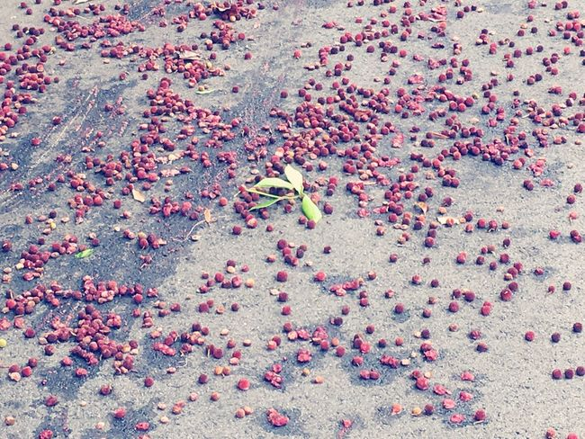 Nut After Storm Typhoon Fell Red Looks Cute Leaf 木の実 嵐の後 全部 落ちてた The Scenery That Tom Saw Tomの見た世界 Japan IPhoneography Nature