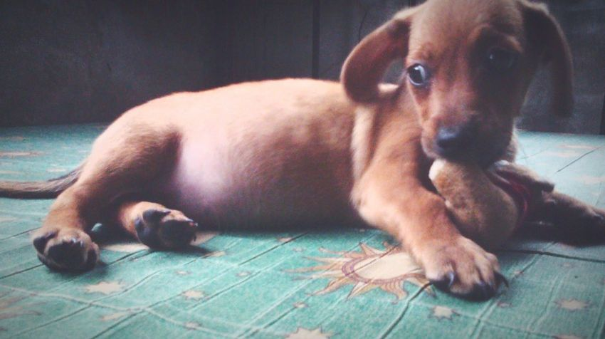 2months old Coco. Pet Animal Lover Pet Photography  Animal Photography Dachshund Dog