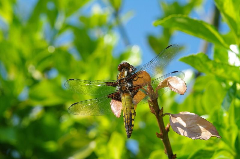 dragonfly, four spotted chaser. Insect Animals In The Wild One Animal Animal Themes Wildlife Close-up Fragility Zoology Invertebrate Full Frame No People Dragonfly Dragonflies Dragonfly Nature Insects Dragonfly_of_the_day Dragonfly Eyeem Collection